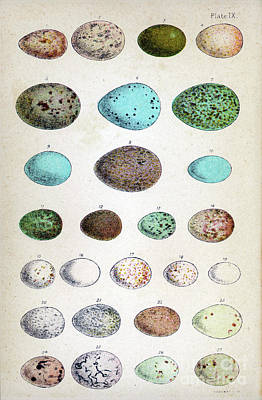 Selection Drawing -  Eggs Of Two Dozen Birds by Mary Evans Picture Library