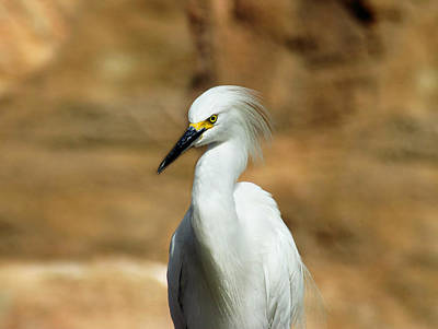 Photograph - Egret 3 by Anthony Jones