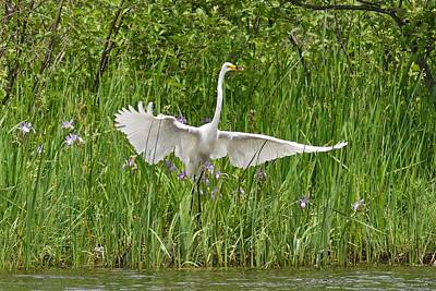 Photograph - Egret About To Lift Off by Michael Peychich
