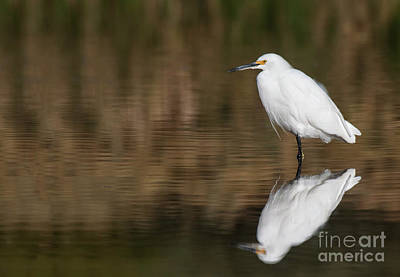 Photograph - Egret After All This Time  by Ruth Jolly