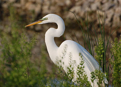 Photograph - Egret Among The Grasses by Kathleen Stephens