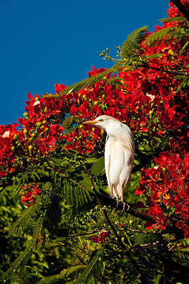 Photograph - Egret And Poinciana Tree by Roger Mullenhour