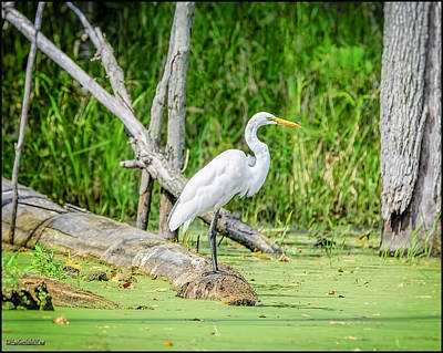 Photograph - Egret At Seven Ponds by LeeAnn McLaneGoetz McLaneGoetzStudioLLCcom