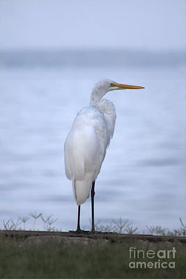 Photograph - Egret At The Lake by Ella Kaye Dickey