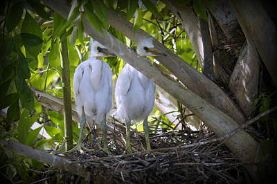 Photograph - Egret Babies by Laurie Perry