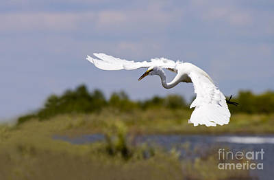 Great Photograph - Egret Ballet by Mike  Dawson