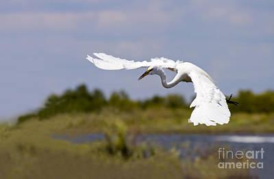 Cranes Photograph - Egret Ballet by Mike  Dawson