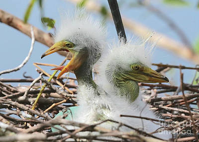 Photograph - Egret Chicks In Nest With Egg by Carol Groenen