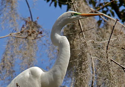 Photograph - Egret Close Up by Denise Mazzocco