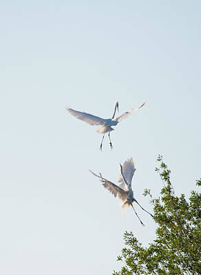 Photograph - Egret Dance by Catherine Lau