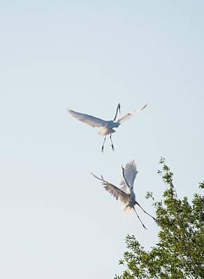 Photograph - Egret Dance by Catherine Lau