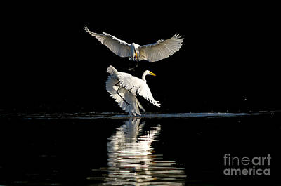 Photograph - Egret Dance by Emily Bristor