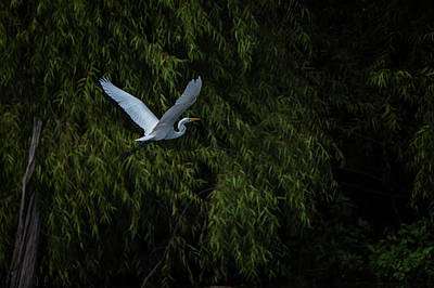 Photograph - Egret Dreams by Linda Shannon Morgan