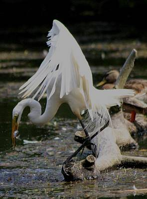 Photograph - Egret Eats by Christopher Kirby