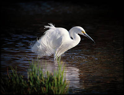 Photograph - Egret by Elaine Malott