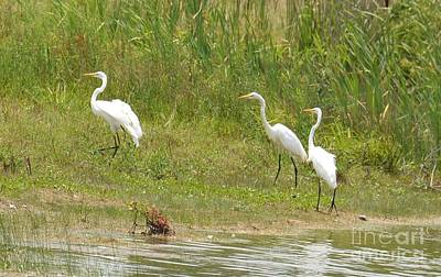 Photograph - Egret Family 1 by Maria Urso