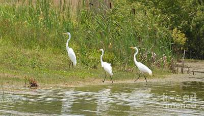 Photograph - Egret Family 2 by Maria Urso