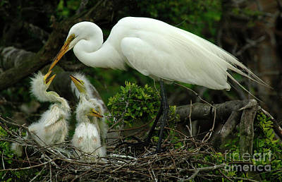 Egret Photograph - Majestic Great White Egret Family by Bob Christopher