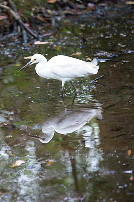 Photograph - Egret Fishing by Allan Morrison