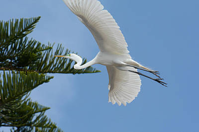 Photograph - Egret Fly By by Fraida Gutovich