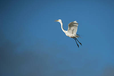 Photograph -  Egret Flying by Catherine Lau
