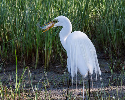 Great Egret Original by Gina Levesque