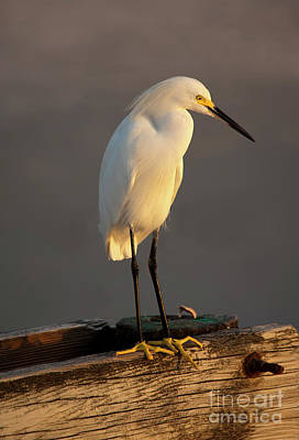 Photograph - Egret Glow by Mike Dawson
