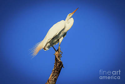 Photograph - Egret In A Bare Tree by Richard Smith
