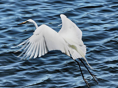 Photograph - Egret In Flight 2 by C H Apperson