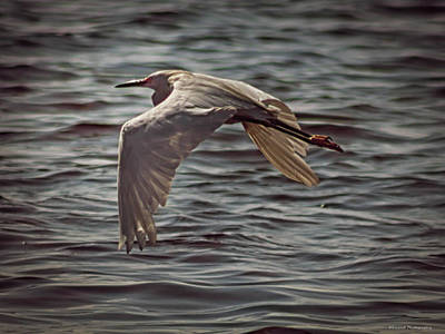 Photograph - Egret In Flight 2 by Debra Forand