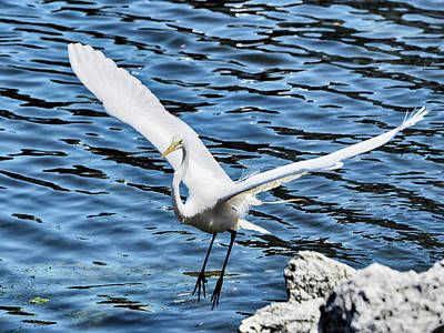 Photograph - Egret In Flight 3 by C H Apperson