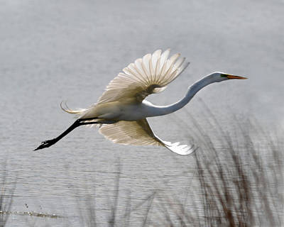 Photograph - Egret In Flight by Ann Bridges