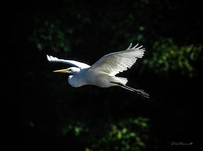 Photograph - Egret In Flight Art Greenfield Lake by Phil Mancuso