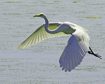 Photograph - Egret In Flight by Bill Barber