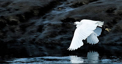 Photograph - Egret In Flight by Brian Roscorla