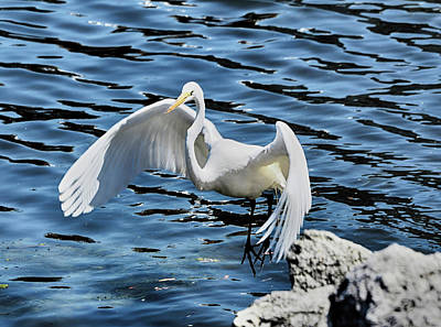 Photograph - Egret In Flight by C H Apperson
