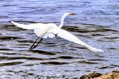 Lady Bug - Egret in flight by Geraldine Scull