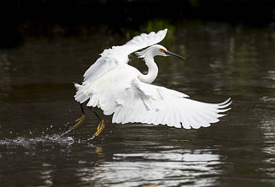 Egret In Flight Art Print by Jennifer