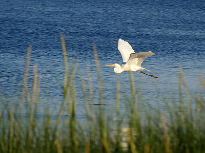 Photograph - Egret In Flight by Richard Reeve