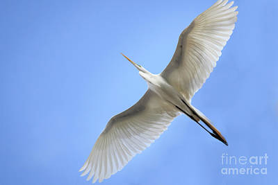 Photograph - Egret In Graceful Flight by Richard Smith