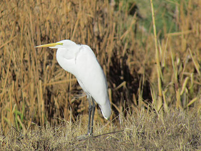 Photograph - Egret In Grass by Bonnie Muir