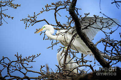 Photograph - Egret In He Treetops #2 by Richard Smith