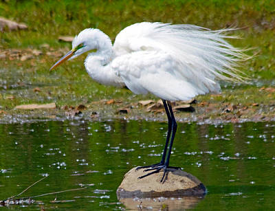 Egret In Mating Plumage Art Print by Kristine Quandee