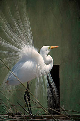Avery Island Photograph - Egret In Mating Regalia by Bonnie Barry