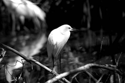 Photograph - Egret In Monochrome by David Weeks