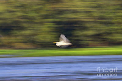 Photograph - Egret In Motion 4170 by Jack Schultz