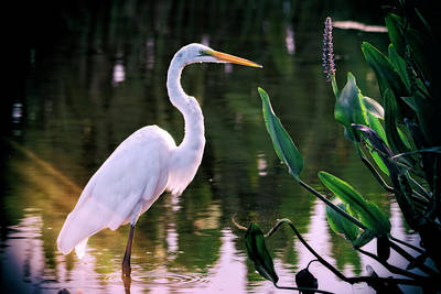 Photograph - Egret In The Everglades  by Saija Lehtonen