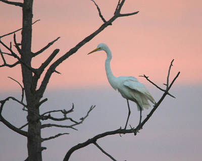 Photograph - Early morning egret in tree by Jim Phares