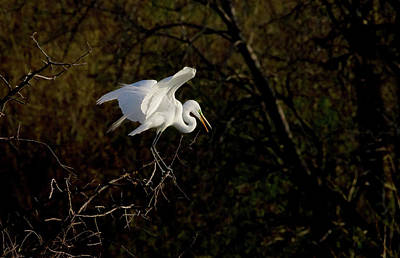 Photograph - Egret by Kelly Marquardt