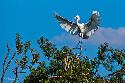 Photograph - Egret Landing by Christopher Holmes
